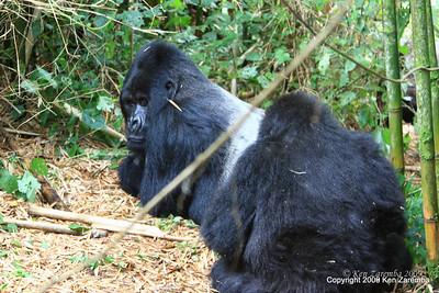 Mountain Gorilla Silverback Guhunda of group Sabyinyo being groomed by one of his wives, Volcanoes Nat. Pk. Rwanda, 1/15/09