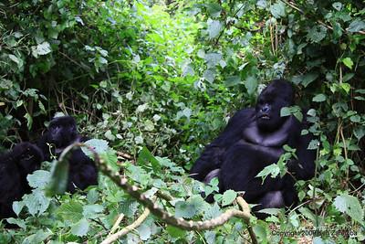 Mountain Gorilla Silverback Guhunda of group Sabyinyo barks out a order, Volcano Nat. Pk. Rwanda, 1/15/09