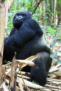 Our last look at Mountain Gorilla Guhunda, Silverback of group Sabyinyo, Volcanoes Nat. Pk. Rwanda, 1/15/09