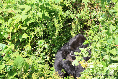 A group-13 Mountain Gorilla family member, Volcanoes Nat. Pk. Rwanda, 1/14/09