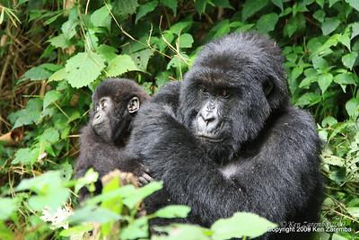 Mother & child Mountain Gorrilas of group Sabyinyo, Volcanoes Nat. Pk. Rwanda, 1/15/09