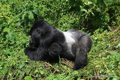 Silverback Agashya of Mountain Gorilla group-13, Volcanoes Nat. Pk. Rwanda, 1/14/09