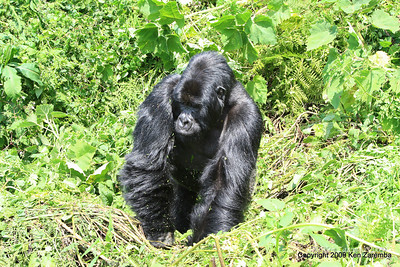 Boss man Agashya of Mountain Gorilla Group-13, Volcanoes Nat. Pk. Rwanda, 1/14/09