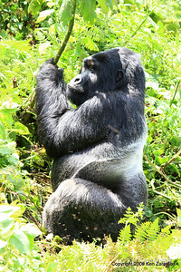 Silverback Agashya of Mountain Gorilla Group-13 pondering his loss, Volcanoes nat. Pk. Rwanda, 1/14/09