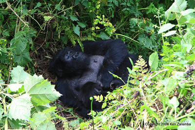 Mountain Gorilla Group-13 member, Volcanoes Nat. Pk. Rwanda, 1/14/09