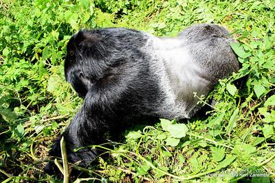 Silverback Agashya of Mountain Gorilla Group-13 about four feet away, Volcanoes Nat. Pk. Rwanda, 1/14/09