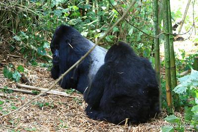 Silverback Guhunda of group Sabyinyo being groomed by one of his wives, Volcano Nat. Pk. Rwanda, 1/15/09