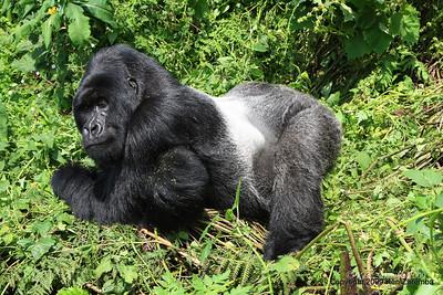 Silverback Agashya of Mountain Gorilla Group-13 posing for the camera, Volcanoes Nat. Pk. Rwanda, 1/14/09