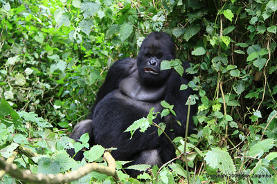 Mountain Gorilla Silverback Guhunda of group Sabyinyo not pleased with my presence, Volcanoes Nat. Pk. Rwanda, 1/15/09