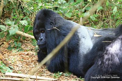 Mountain Gorilla Silverback Guhunda of group Sabyinyo, largest silverback of the 14 habituated groups, Volcanoes Nat. Pk. Rwanda, 1/15/09