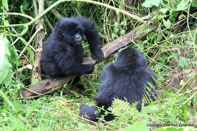 Mountain Gorilla Group-13 member, Volcanoes Nat. Pk. Rwanda, 1/14/09