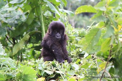 A Mountain Gorilla Group-13 youngster, Volcanoes Nat. Pk. Rwanda, 1/14/09