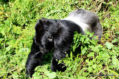 Silverback Agashya of Mountain Gorilla Group-13 diverts from me to avoid confrontation, Volcanoes Nat. Pk. Rwanda, 1/14/09