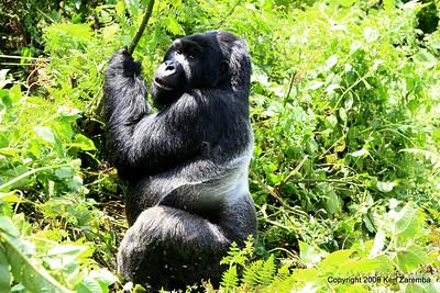 Silverback Agashya of Mountain Gorilla Group-13 looking back at Susan and thinking what might have been, Volcanoes Nat. Pk. Rwanda, 1/14/09