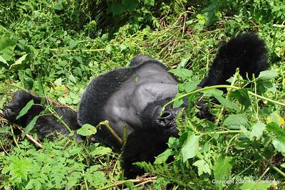 Silverback Agashya of Mountain Gorilla Group-13 lays down while planning his next move, Volcanoes Nat. Pk. Rwanda, 1/14/09