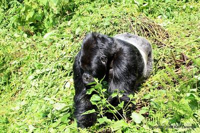 Silverback Agashya of Mountain Gorilla group-13 making his move toward us, Volcanoes Nat. Pk. Rwanda, 1/14/09