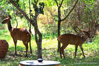 Female Bushbucks, Lake Manyara Serena Lodge Tanzania, 12/31/08