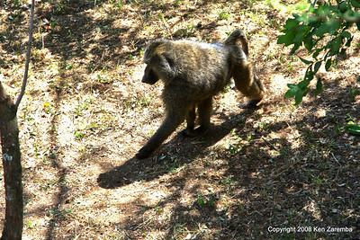 Olive Baboon near our Lake Manyara Serena Lodge room, Tanzania, 12/31/09