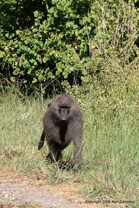 Olive baboon, Lake Manyara Nat. Pk. Tanzania, 12/31/09