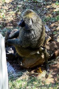 Hope nobody saw me do that, fresh Olive Baboon pile, Lake Manyara Serena Lodge Tanzania, 12/31/08