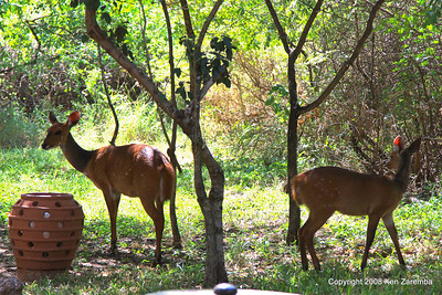 Female Bushbucks, Lake Manyara Serena Lodge Tanzania, 12/31/08