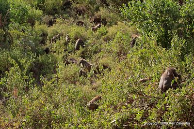 Foraging troop of Olive Baboons, Lake Manyara Nat. Pk. Tanzania, 12/31/08