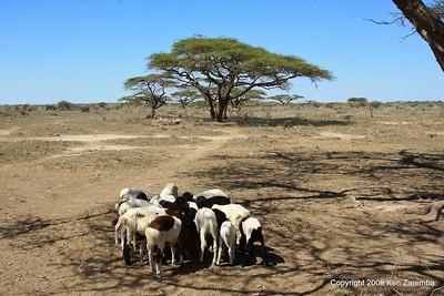Maasai goats in the village, Tanzania 1/03/09