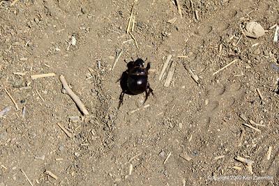 Dung beetle without a dung ball, Tanzania 1/03/09
