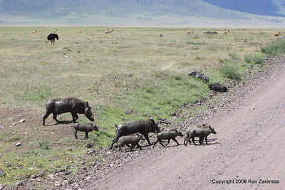 Warthog family crossing the road, Ngorongoro Crater tanzania, 1/02/09
