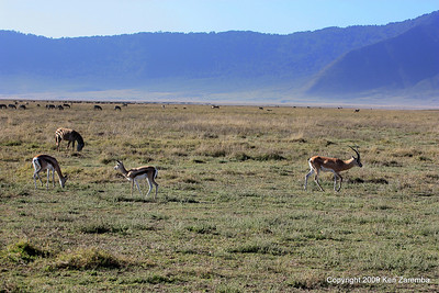 Thompsons Gazelle & Grants Gazelle, Ngorongoro Crater Tanzania, 1/02/09