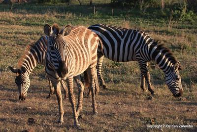 Common Zebra, Ngorongoro Crater Tanzania, 1/02/09