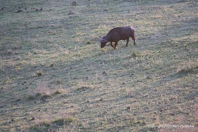 Cape Buffalo, Ngorongoro Crater Tanzania, 1/02/09