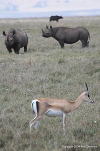 Grant's Gazelle & Black Rhinoceros, Ngorongoro Crater Tanzania, 1/02/09