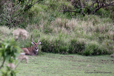 Common Waterbuck, Near Ngorongoro Crater Tanzania, 1/01/09