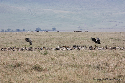 Vultures & Buzzards moving in on the Cape Buffalo carcus, Ngorongoro Crater Tanzania, 1/02/09