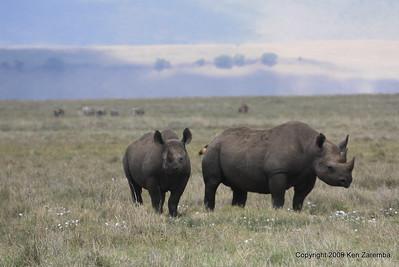 Black Rhinoceros, Ngorongoro Crater Tanzania, 1/02/09