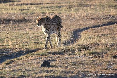 Female Cheetah, Ngorongoro Crater Tanzania, 1/02/09