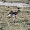 Thompsons Gazelle, Ngorongoro Crater Tanzania, 1/02/09