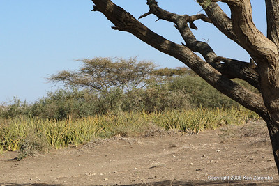 Mother-in-law Tongue, a sharp local vegetation. Olduvai Gorge Tanzania 1/03/09