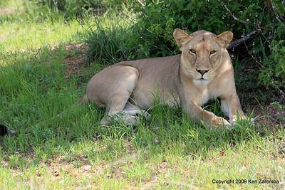 Lioness, Ruaha Nat. Pk. Tanzania, 1/10/09