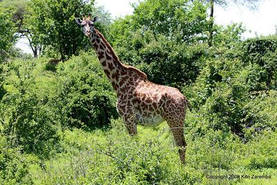 Masai Giraffe of Giraffic Park, Ruaha Nat. Pk. Tanzania, 1/10/09