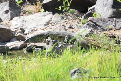 Nile Monitor Lizard, Ruaha Nat. Pk. Tanzania, 1/10/09