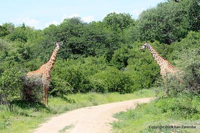 Giraffic arch, Ruaha Nat. Pk. Tanzania, 1/10/09