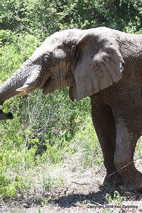 Morris the welcoming elephant of Jongomero Safari Camp, Ruaha nat. Pk. Tanzania, 1/09/09