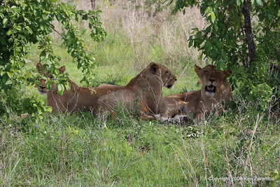 Three Lionesses in the shade, Ruaha Nat. Pk. Tanzania, 1/10/09