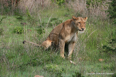 Lioness doing her duty, Ruaha Nat. Pk. Tanzania, 1/10/09