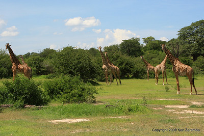 A journey of Giraffes, Ruaha Nat. Pk. Tanzania, 1/10/09