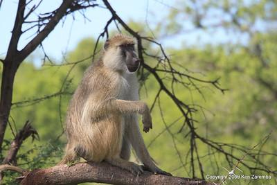 Yellow Baboon, Ruaha Nat. Pk. Tanzania, 1/10/09