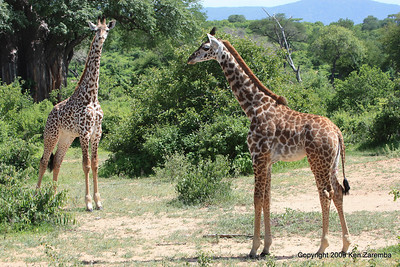 Couple of young Masai Giraffes, Ruaha Nat. Pk. Tanzania, 1/10/09