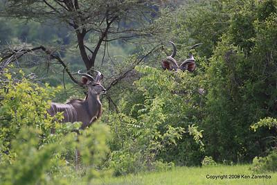 Greater Kudu buck, Ruaha Nat. Pk. Tanzania, 1/10/09